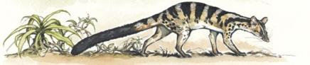 Owstons civet. Illustration by Joyce Powzyck