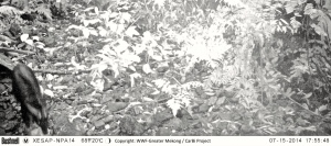 Serow camera trap photo from Xe Sap