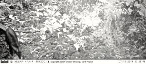 Serow camera trap photo from Xe Sap