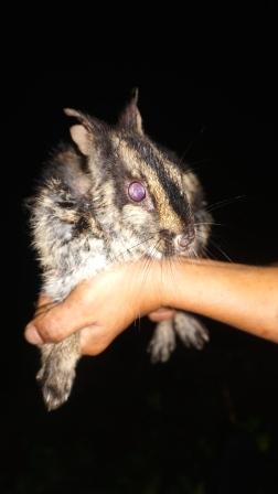 Annamite striped rabbit